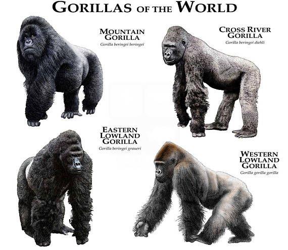 Gorillas of the World | Ape Suit Cinema | Pinterest