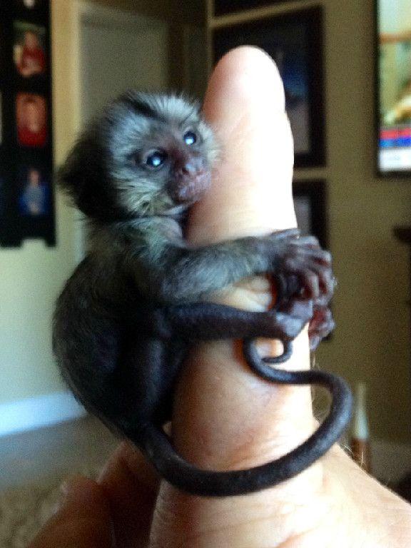 Baby Marmoset Monkeys For Sale Pet Monkey Marmoset Monkey For Sale Cute Monkey
