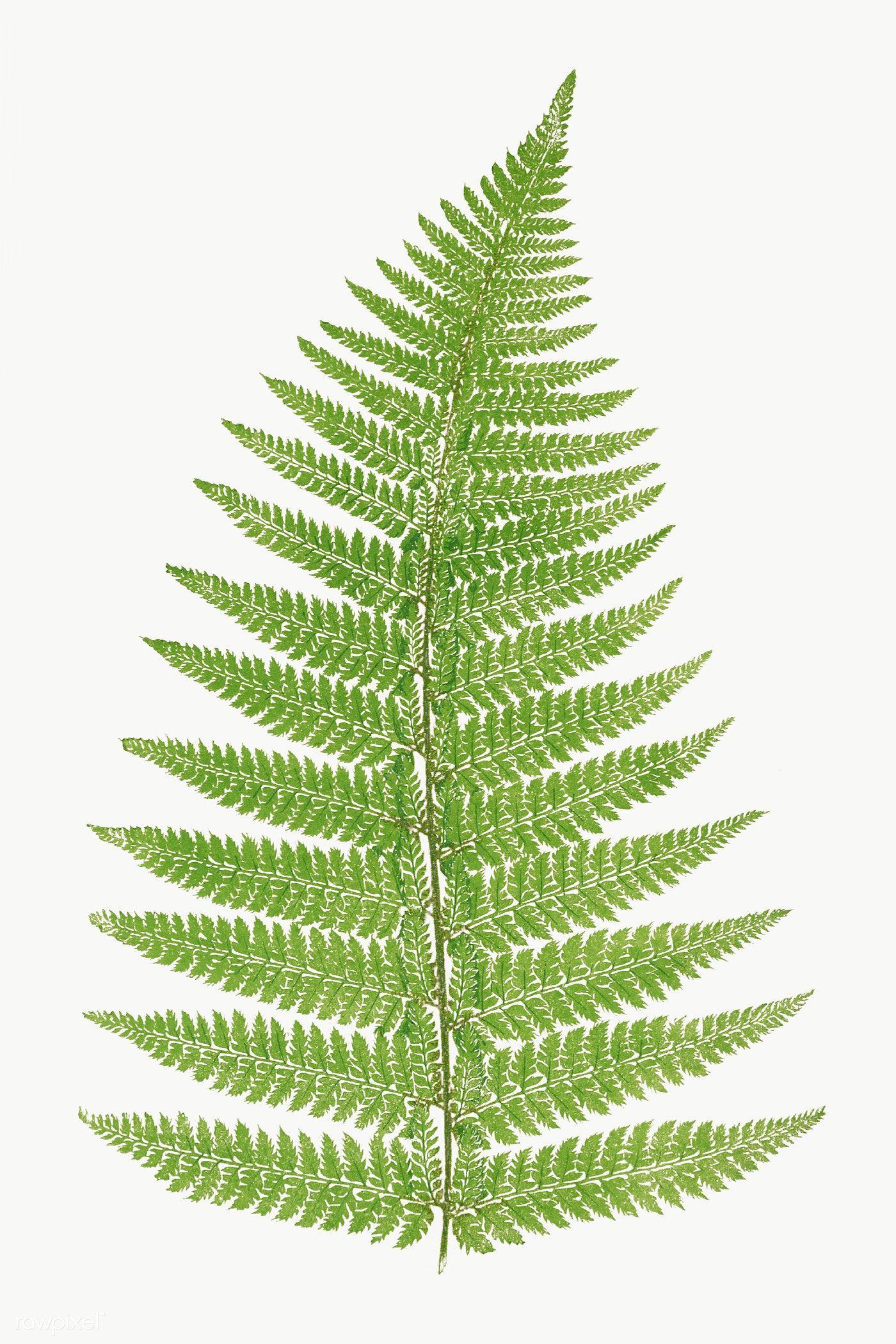 Aspidium Angulare Fern Leaf Illustration Transparent Png Premium Image By Rawpixel Com Nam Leaf Illustration Illustration Botanical Illustration