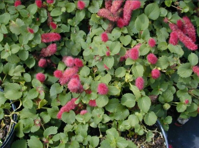 Summer Love, Acalypha Reptans, dwarf variety.grows beautifully in South East Queensland.