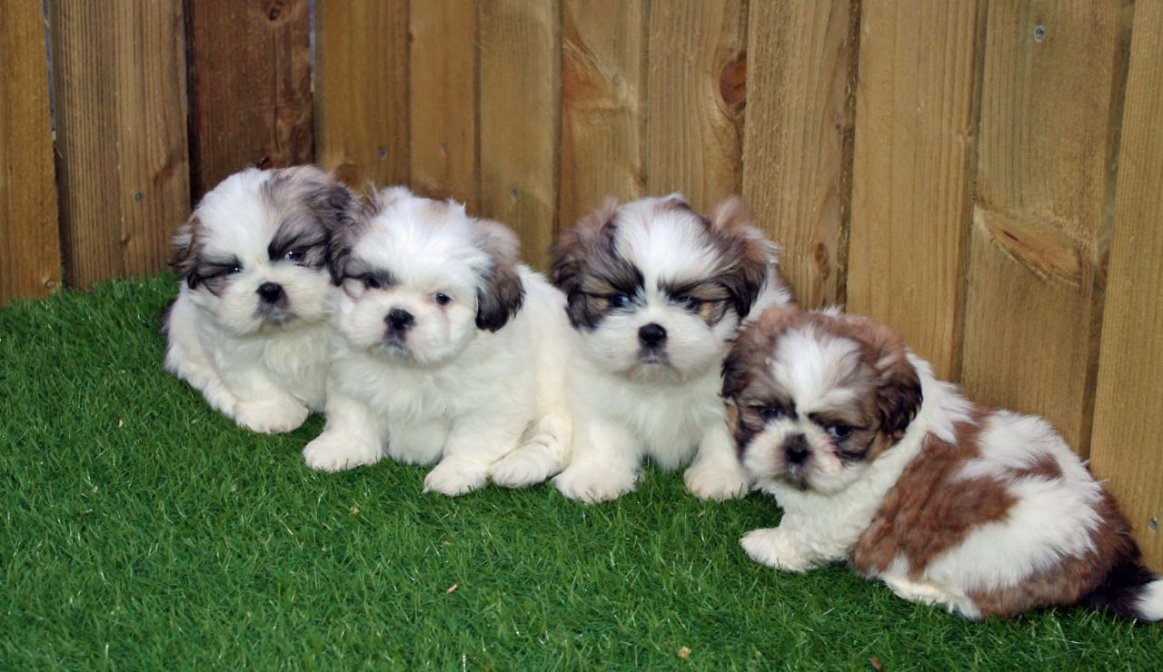 Stunning Litter Of Shih Tzu Pups For Sale Shih Tzu Puppies For