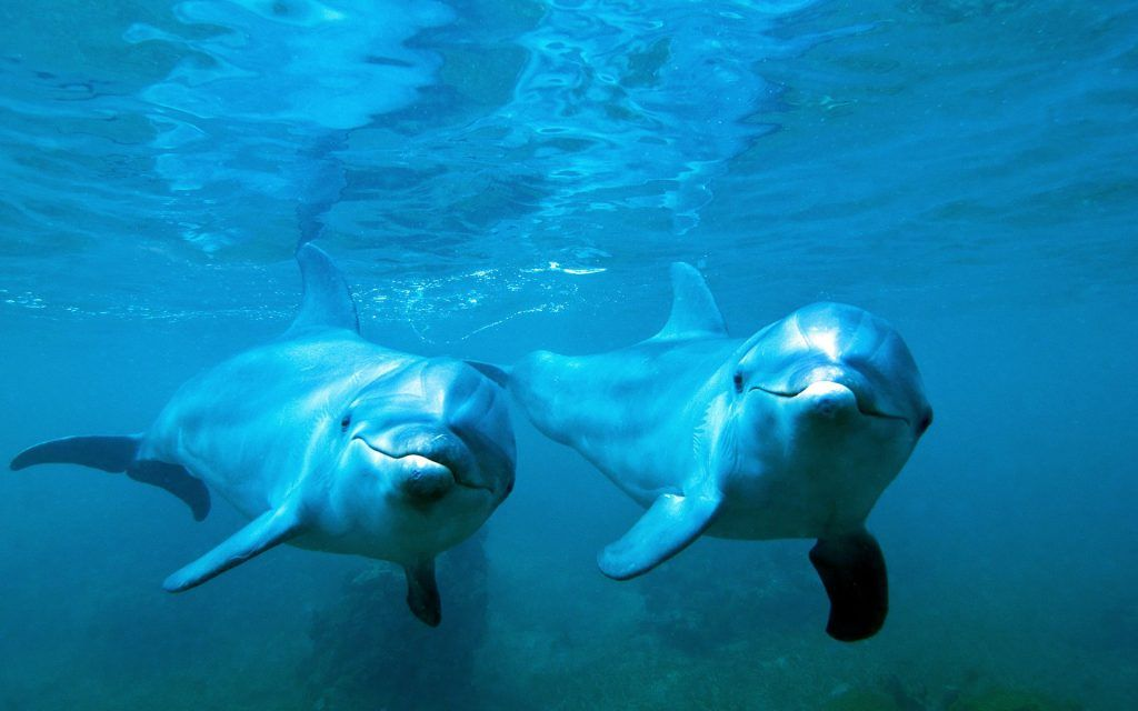 Dolphin Wallpaper Hd Free Download Sunset Bottlenose Dolphin Dolphins Dolphin Underwater Full hd dolphin wallpapers hd desktop