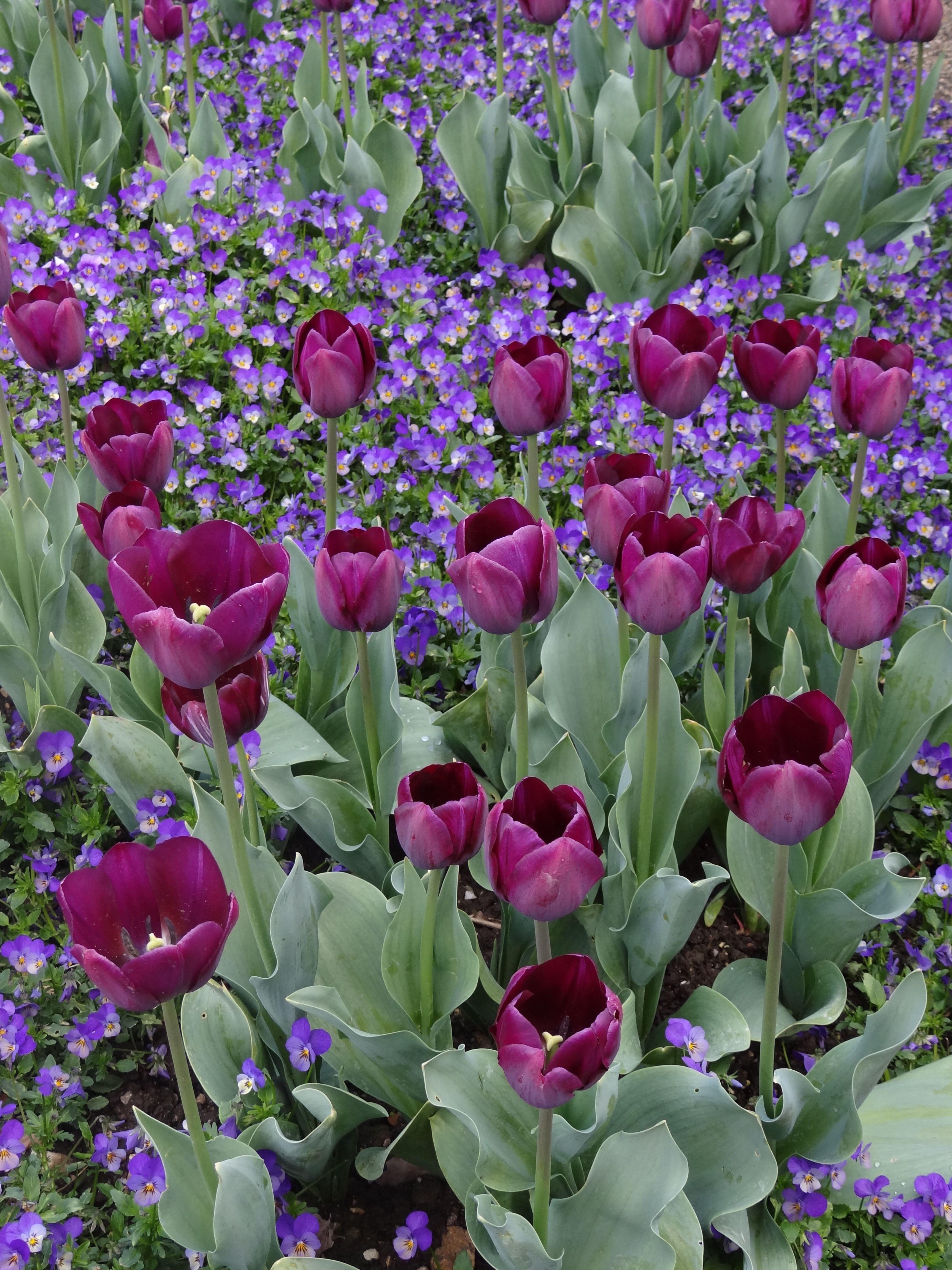 #tulipes #purple