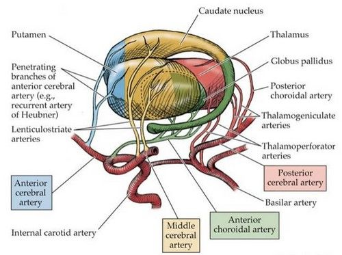 Basal Ganglia And Thalamus Blood Supply