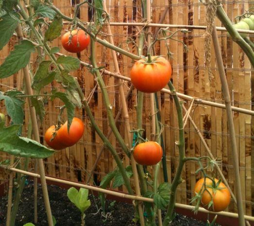 El Cultivo del Tomate - Planeta Huerto