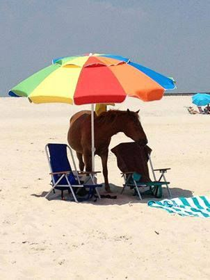 Even Our Wild Horses Need Shade Of Corolla Outer Banks Nc