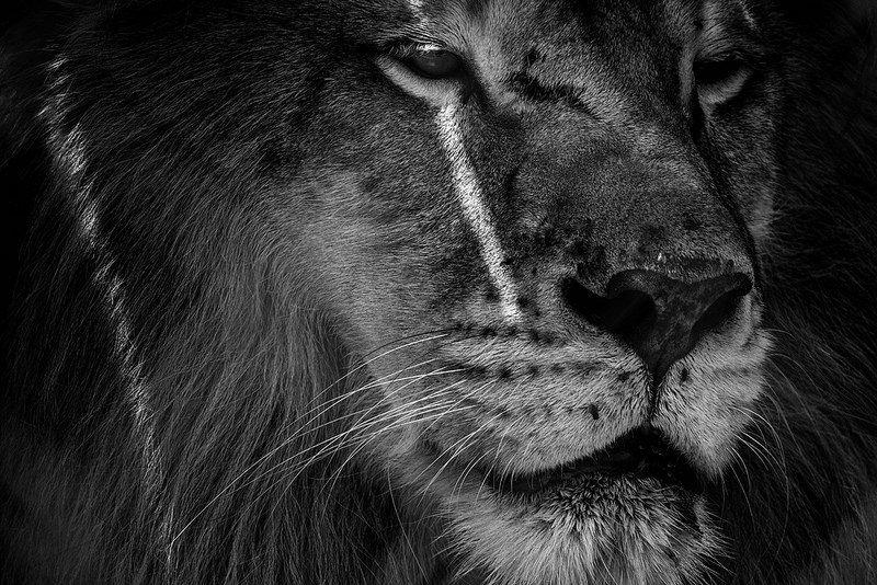Lion Face in Afternoon Sun Big cat habitat, Cat habitat