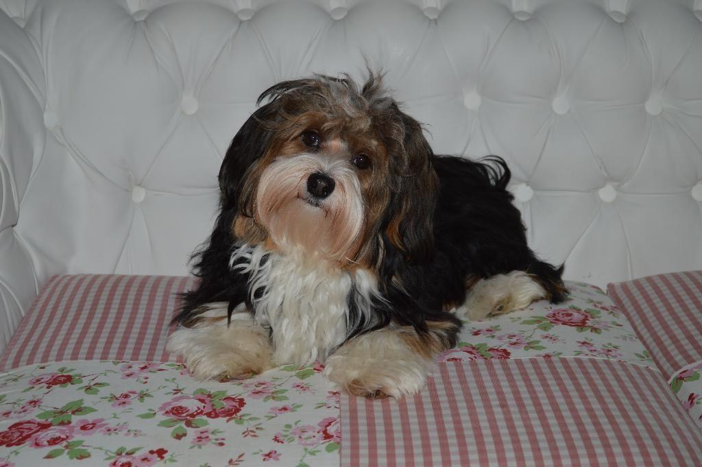 Hallo Unser Havaneser Rude Susser Keks Mit Ahnentafel Und Anerkannter Zuchttauglichkeitsprufung Havaneser Deckrude Susser Havaneser Havaneser Hund Tiere