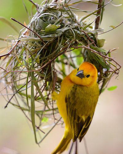 Weaver Bird building a nest.