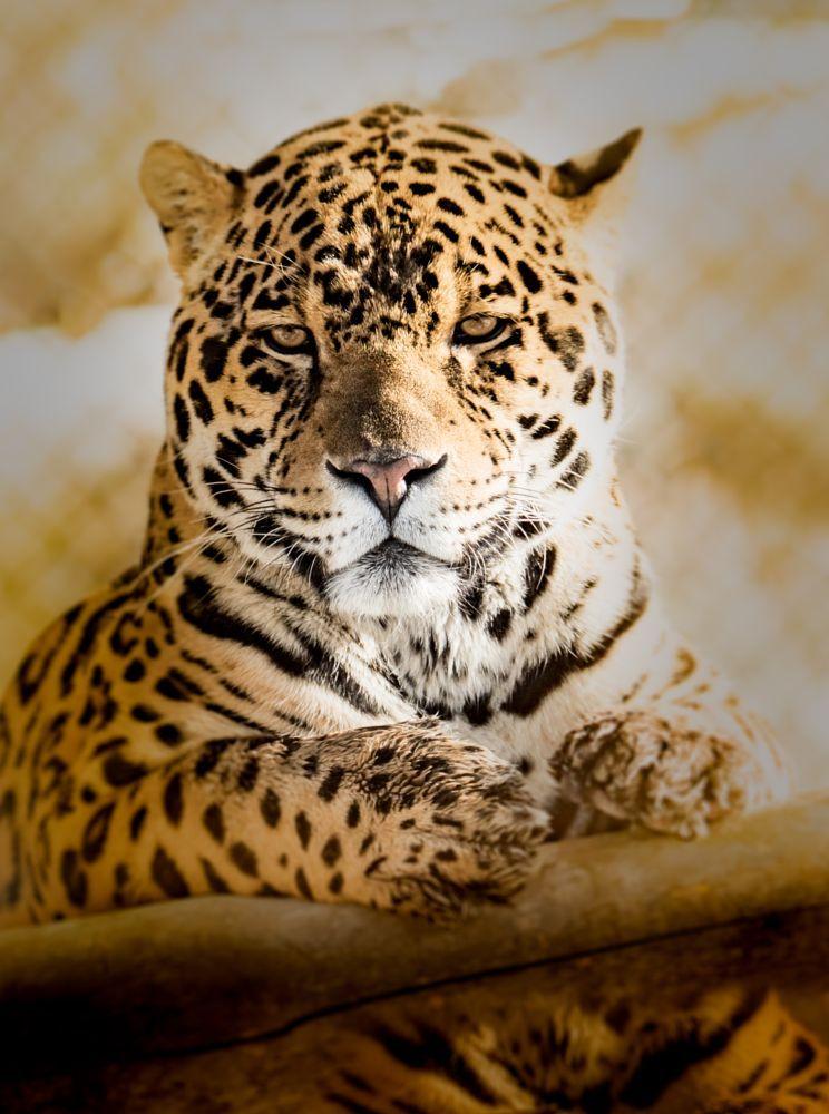Jaguar art for sale art photography pinterest for A href text decoration