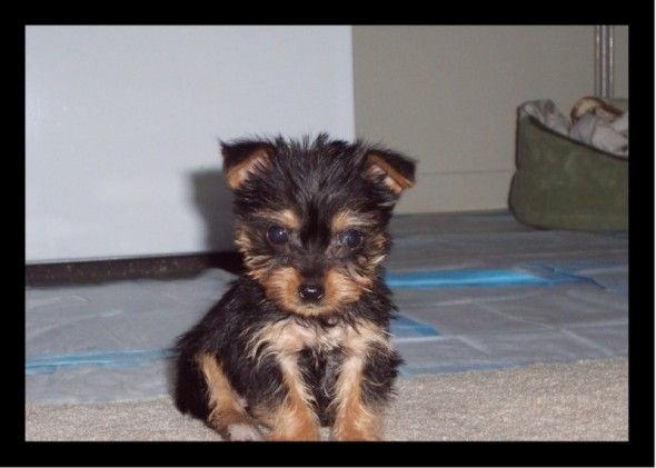 3/4 yorkie 1/4 chorkie DOGS FOR SALE > Chorkie Pups