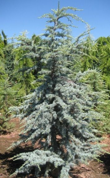 Cedrus Atlantica Horstman Dwarf Blue Atlas Cedar