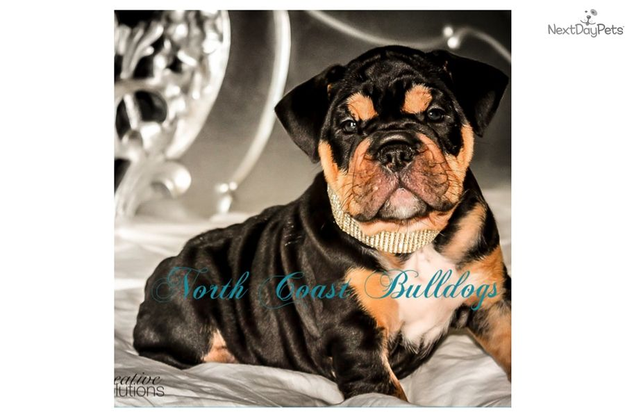 English Bulldog Puppy For Sale Near Minneapolis St Paul