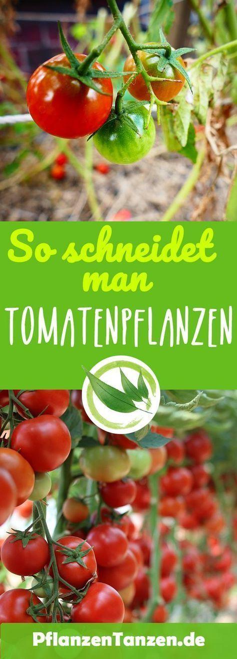 【ᐅ】Tomatenpflanzen schneiden – so geht es richtig ✿ 2019 #tomatenpflanzen