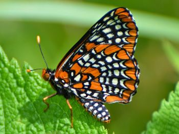 Help the Baltimore Checkerspot Butterfly - Department of Entomology