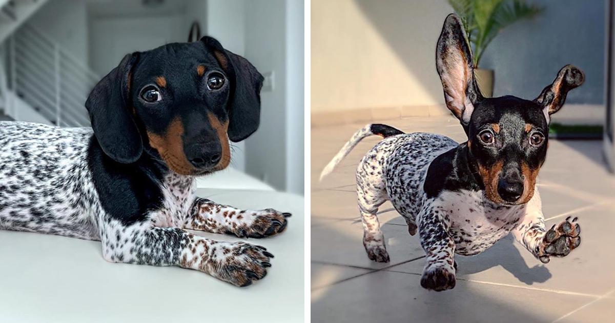 Meet Moo, An Adorable Dachshund That Looks Like He Has The