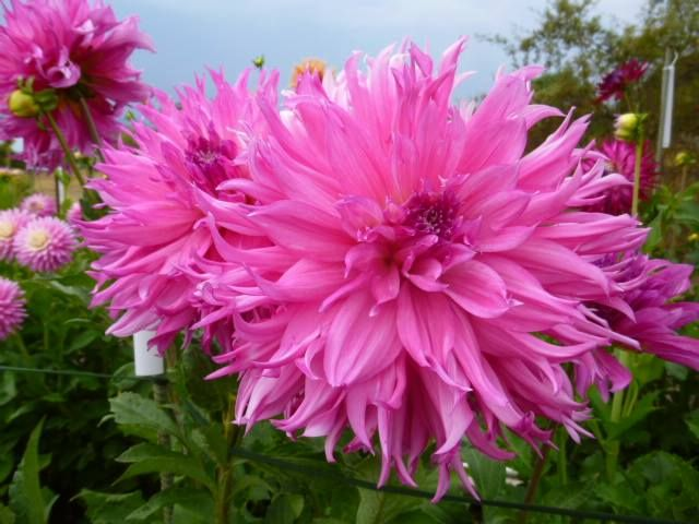 Dahlia Helen Richmond A Dahlia Dahlia Flower Flowers