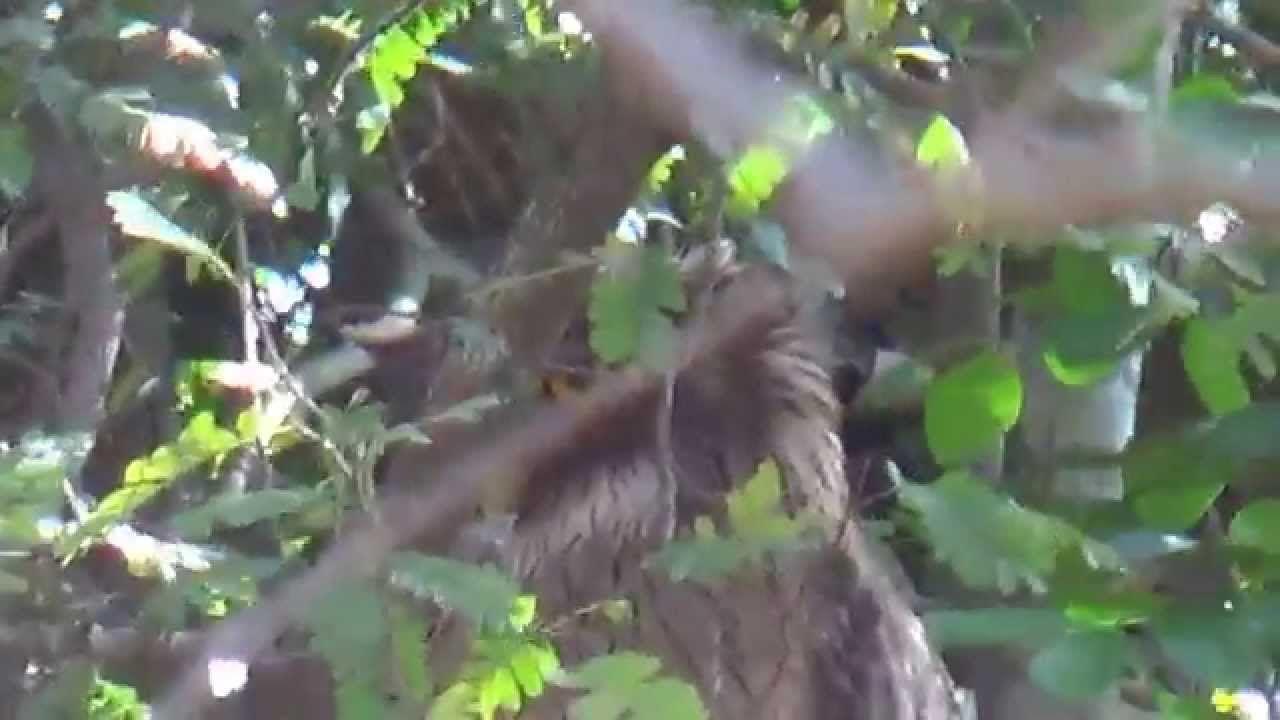 Brown Fish Owl (SHRIKANT MADHAV KELKAR)