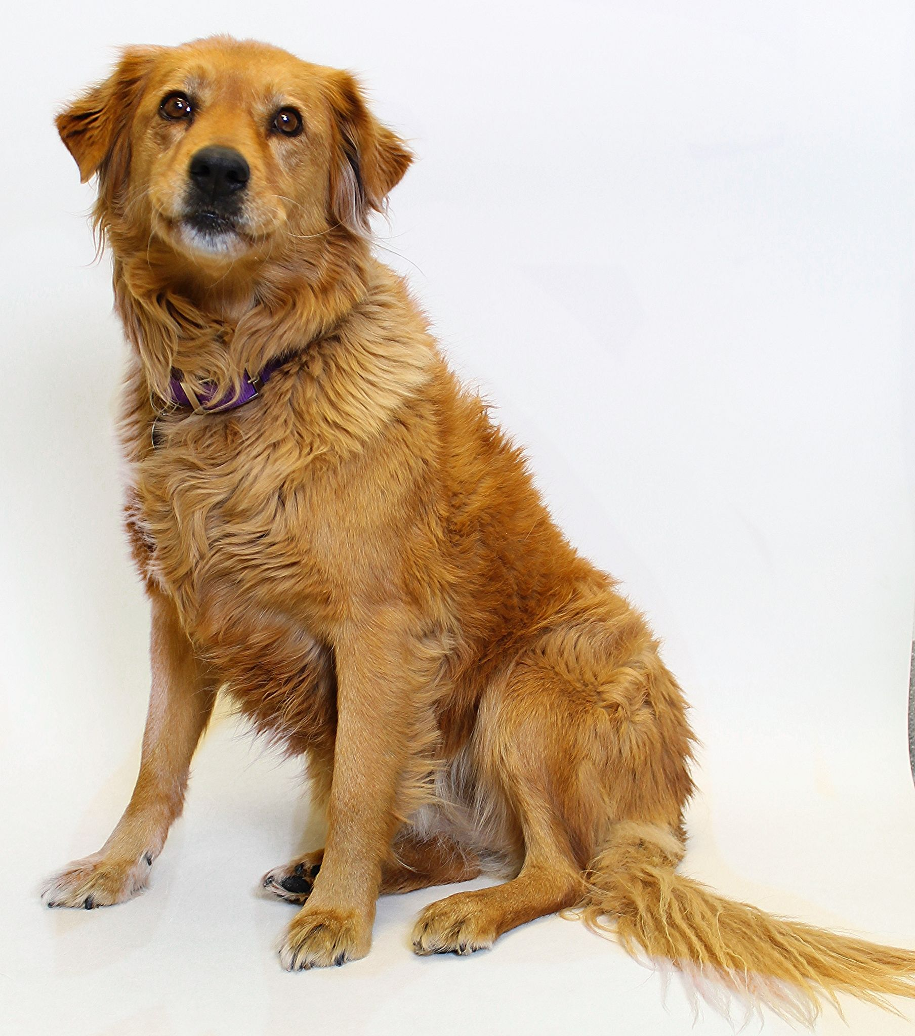 Golden Retriever Dog For Adoption In Truckee Ca Adn 441220 On