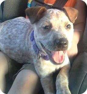 Blue Heeler X Pitbull Dog Pictures Blog Pitbull Mix Puppies