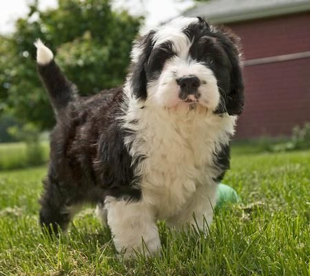 I D Love A Small Poodle Cross Like This Old English Sheepdog Cross