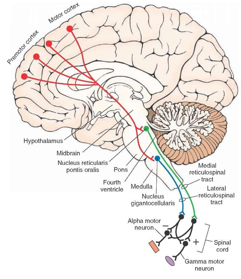 reticular formation - Google Search | Physiology | Pinterest ...