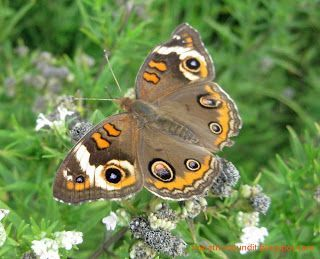 (Photo) Common buckeye butterfly #mortongrove Common buckeye butterfly photographed in Morton Grove's Miami Woods. #mortongrove