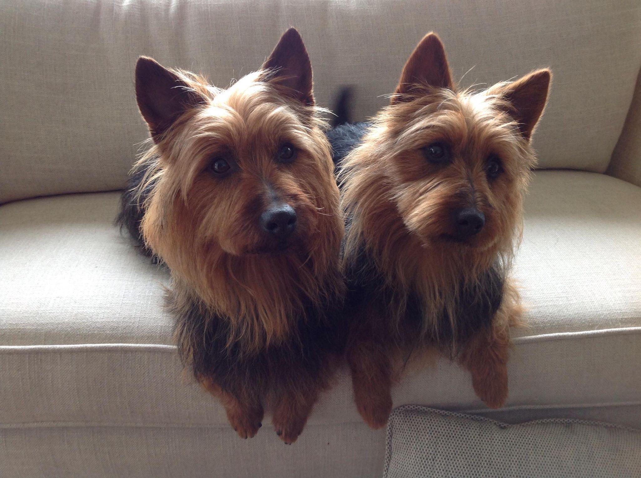 Australian Terriers Australian Terrier Silky Terrier