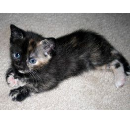 Amaya Is An Adoptable Domestic Short Hair Cat In Appling Ga Just 5 Weeks Old Amaya Is A Black Calico Female Kitten We Pl Indoor Cat Short Hair Cats Kitten