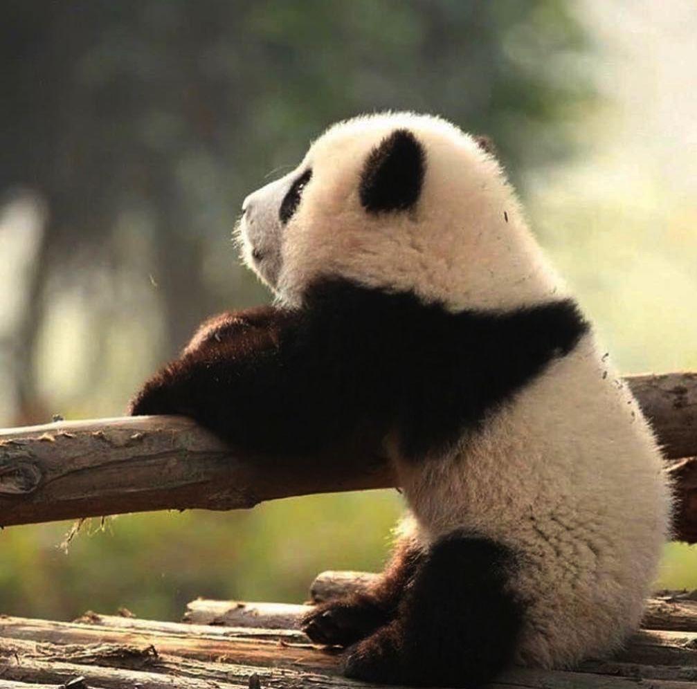 Cute Baby Animals On Pinterest Cute Baby Animals Desktop Wallpaper Panda Bear Cute Animals Panda Funny