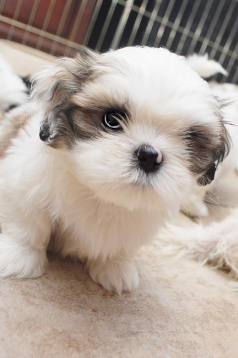 Pin by John Scott on # LIFE_TEAMS Popular Pins (#Favorites of Followers) | Shih tzu puppy, Puppies, Cute baby animals