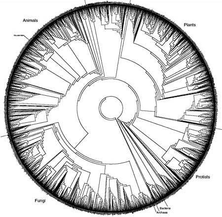 This phylogenetic tree, created by David Hillis, Derreck