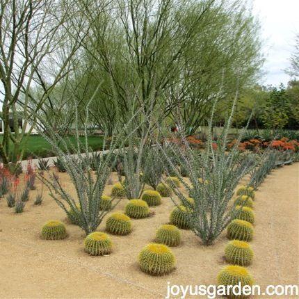 ocotillo & golden barrel cacti