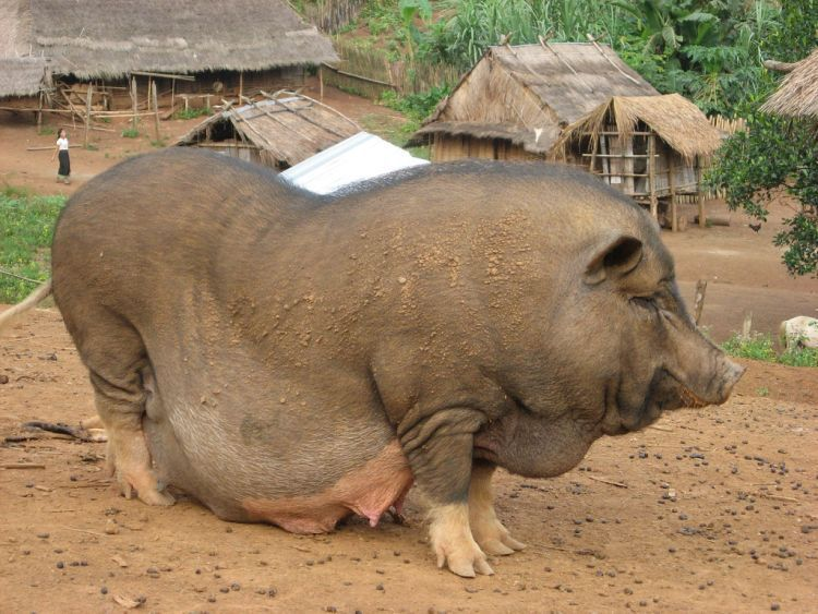 Funny pig weired insertions 5