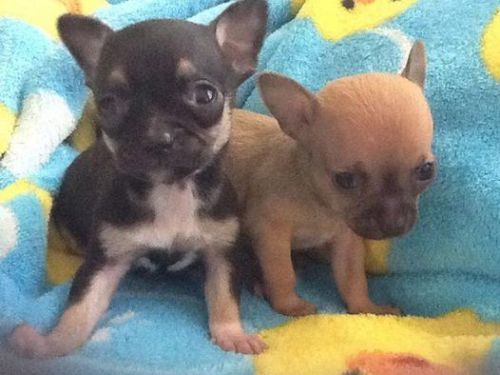 Akc Reg Chihuahua Puppy With Images Chihuahua Puppies