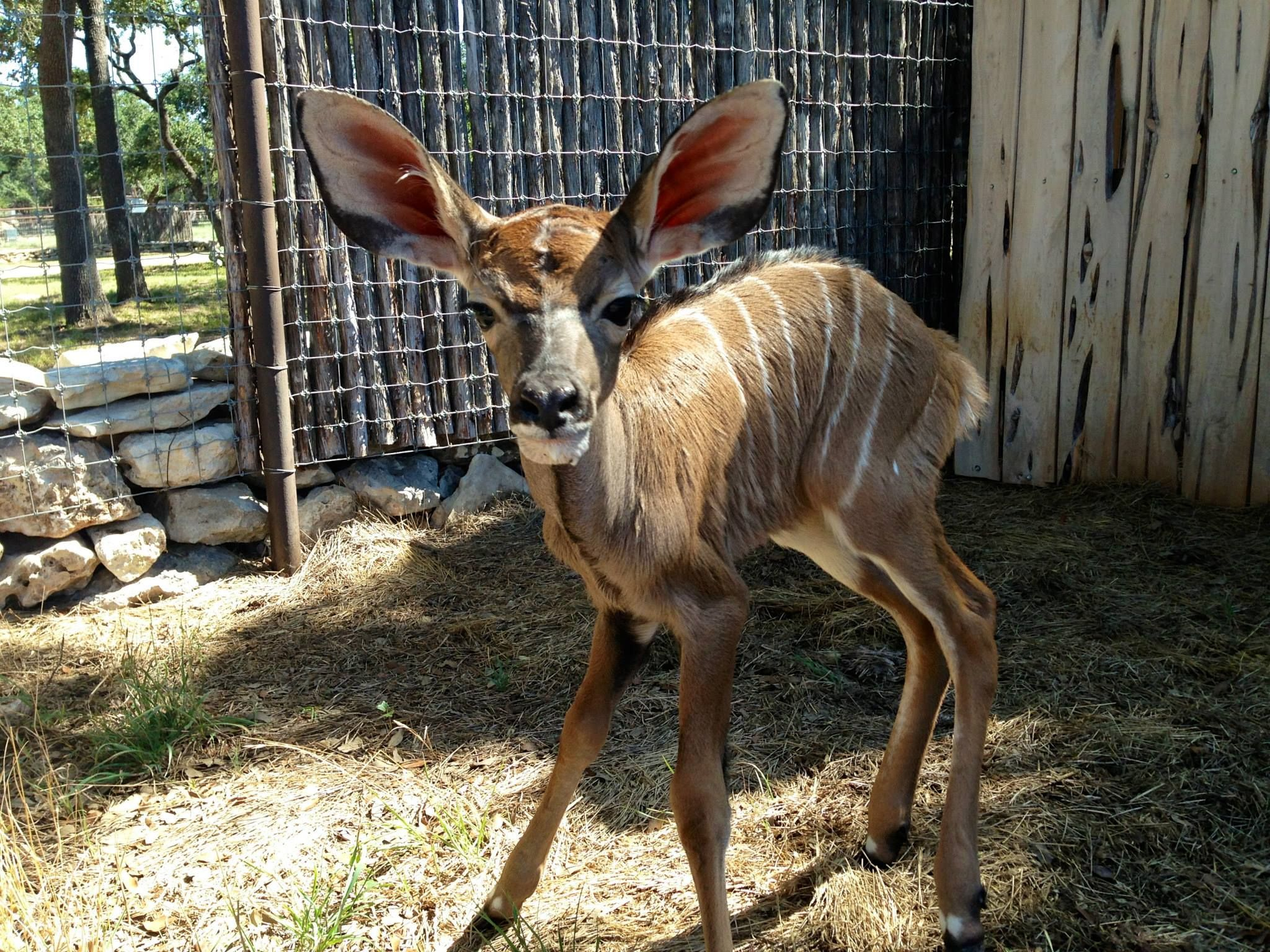 Baby Kudo Texas hunting, Adoption, Hunting