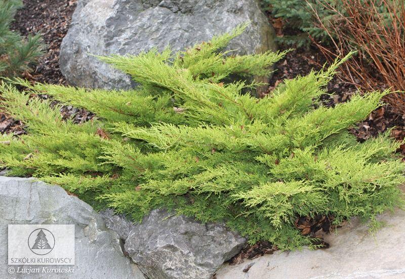 Juniperus x pfitzeriana 'Old Gold' (J. media 'Old Gold') - Jałowiec Pfitzera 'Old Gold' - Szkółki Kurowscy