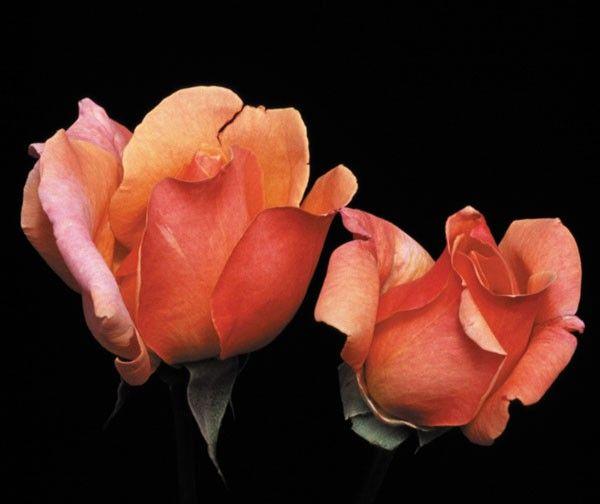 Wild Ginger Wild Ginger Heirloom Roses Rose