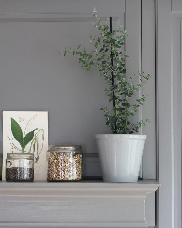 eucalyptus växt inomhus