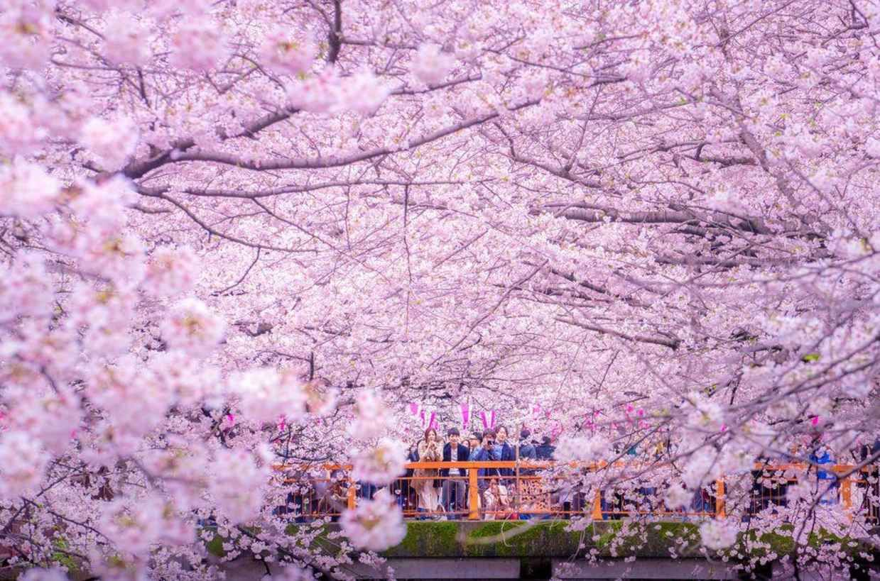 Tokyo S Inokashira Park Lake Is Overrun With Beautiful Cherry Blossoms Cherry Blossom Petals Cherry Blossom Painting Cherry Blossom