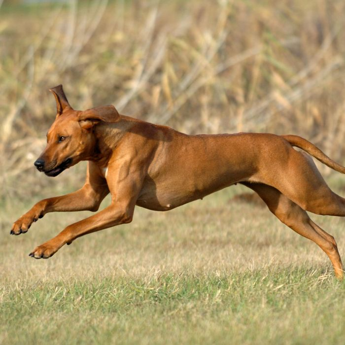 Best Dogs For Runners Maxxedenfitness Best Dog Breeds