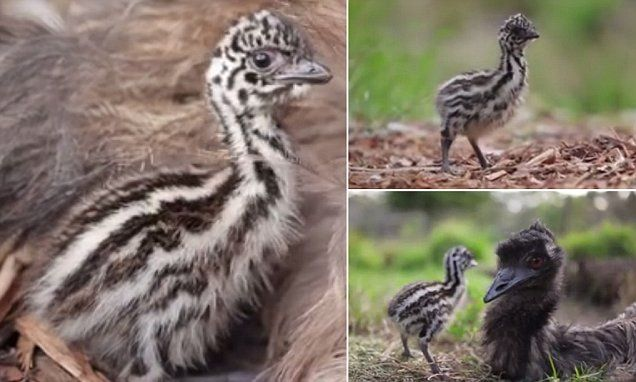 Meet Elsa the adorable emu chick born Symbio Wildlife Park
