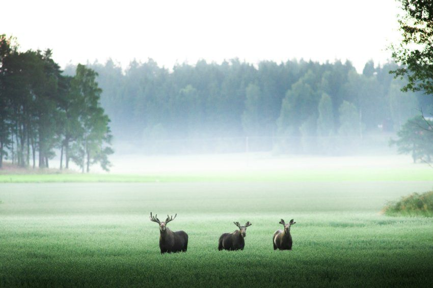 Elche Bei Kilpisjarvi Im Nordwesten Finnlands Um Die Wildtiere Zu Schutzen Finnland Fotos Wildnis