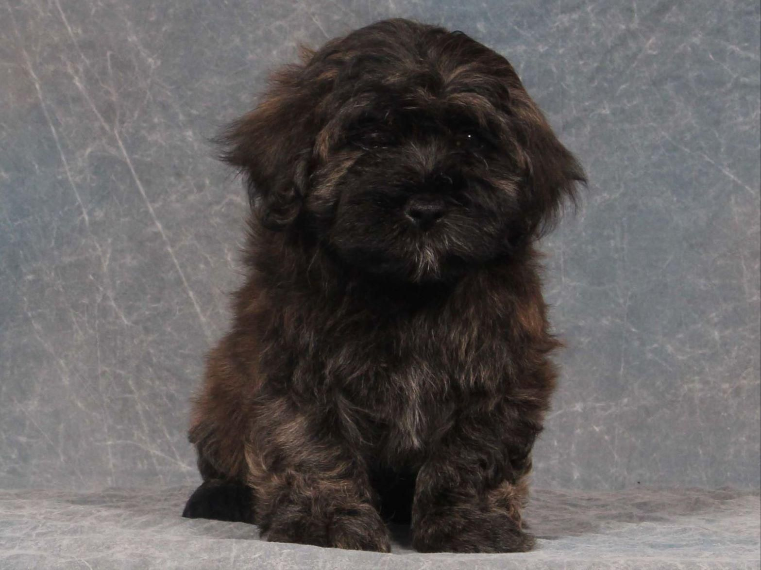 Havanese Puppy Brown And Black With Images Havanese