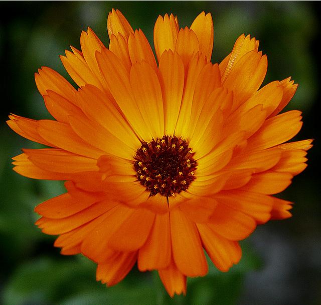 Marigold Birth month flowers, October birth flowers
