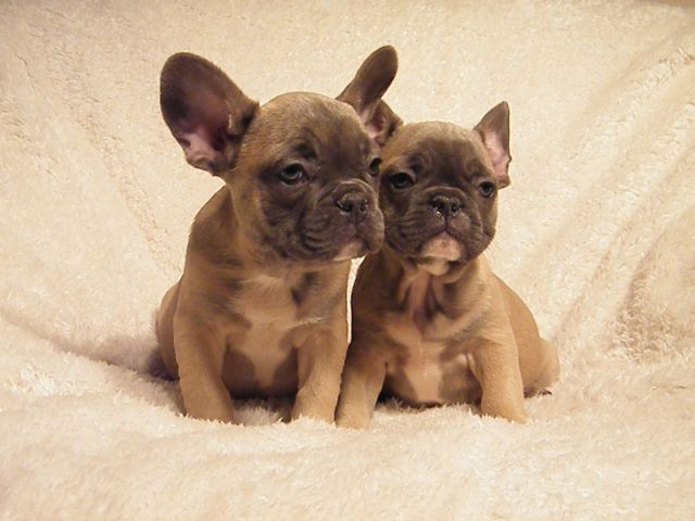 Pin By Carol O Sullivan On Frenchies Dogs And Puppies French