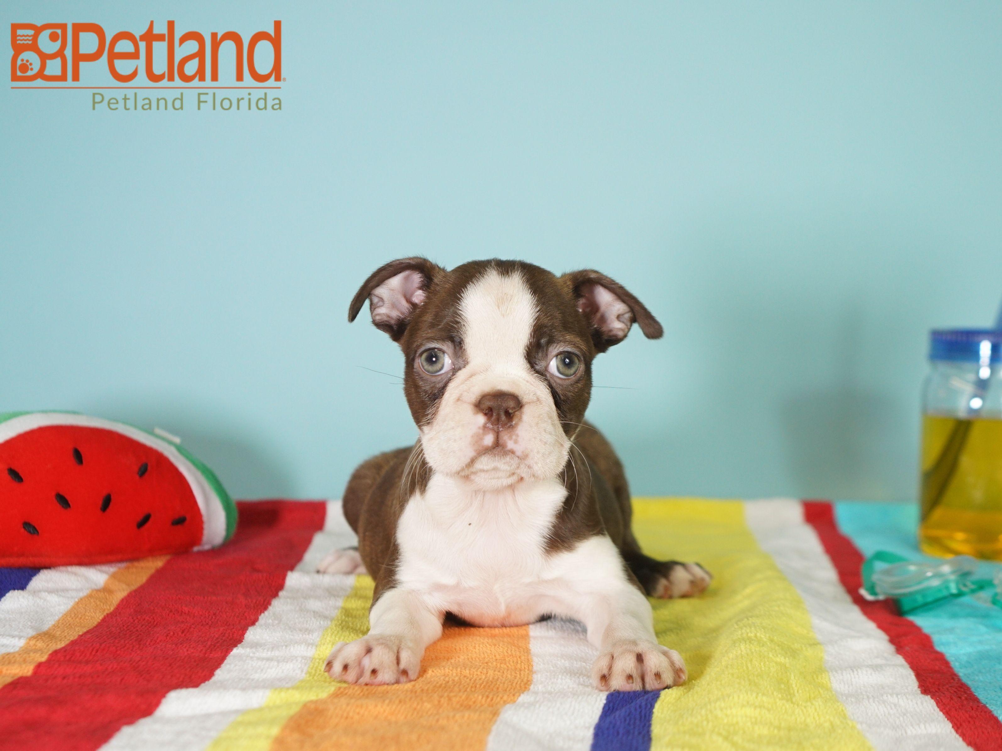Petland Florida has Boston Terrier puppies for sale! Check