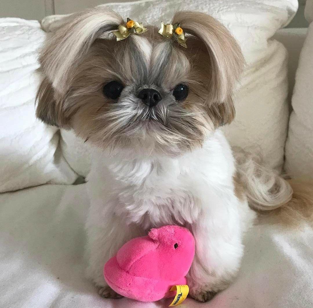 Pin By Peggy Ward On Shih Tzu Shih Tzu Puppy Shih Tzu Shih Tzu Dog