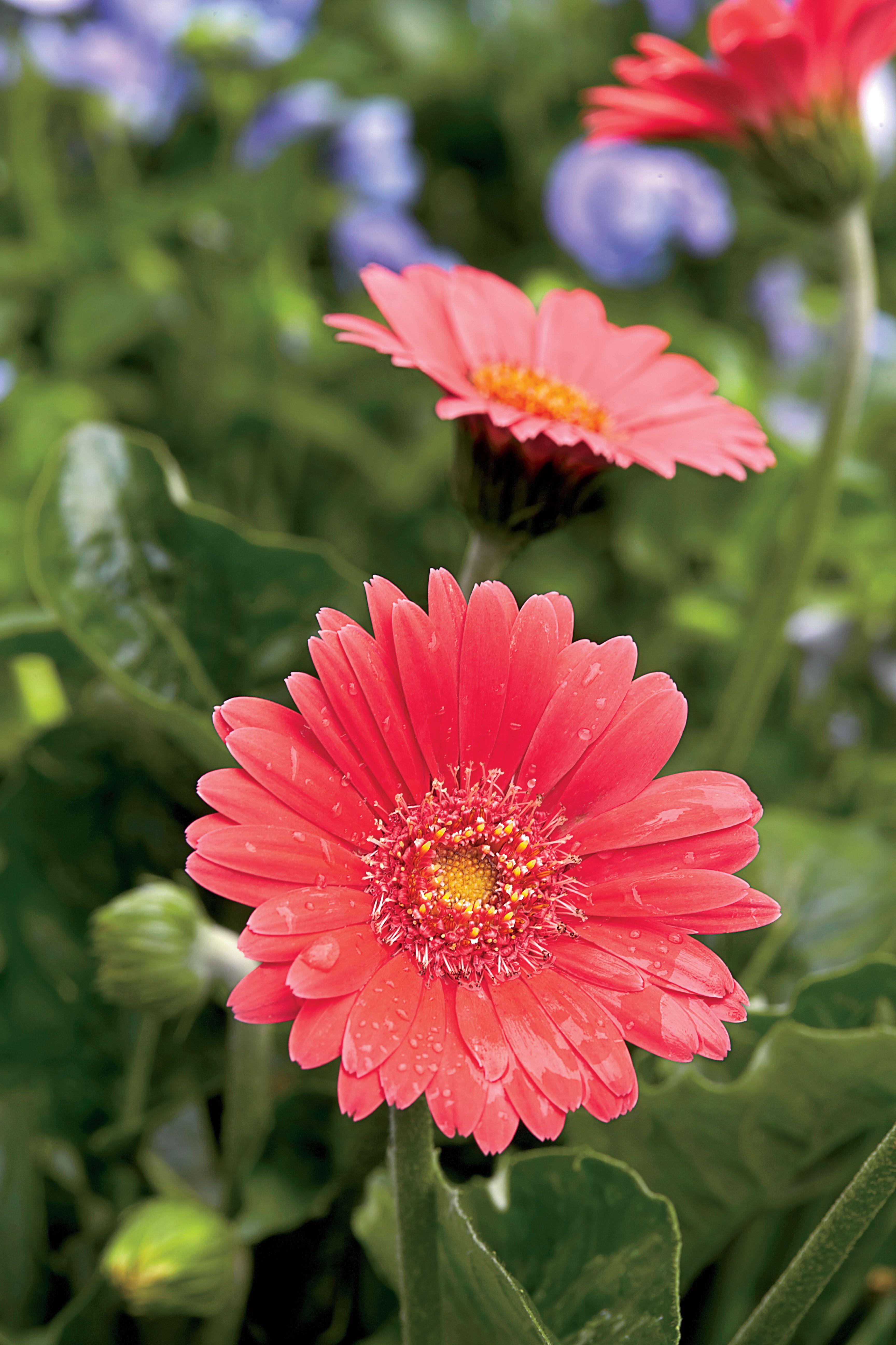 How To Care For Gerbera Daisies Spring Perennials Gerbera Daisy