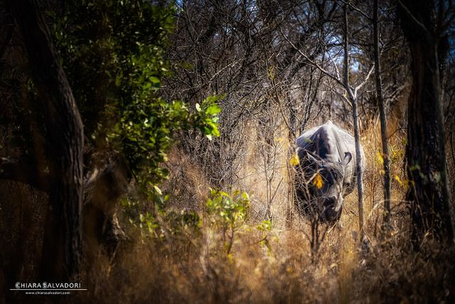 Explore with my pics: The solitude of Rhino...   Today I'll tell you about a picture that I particularly love for the depth of field: vegetation frames the rhino and enclosing it alone in a kind of tunnel, almost in a symbolic way...  Read more on the post   #explorewithmypics #travel #travelphotography #PrintArt #SouthAfrica #Kruger #rhino
